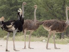 非洲鸵、澳洲鸵、美洲鸵和鹤鸵,傻傻分不清?