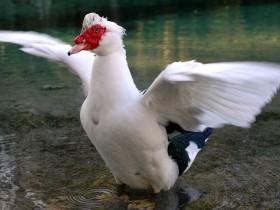 番鸭是鸳鸯最近的亲戚,你知道吗?