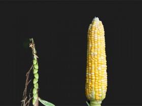 玉米糖浆以及一个主粮作物的崛起