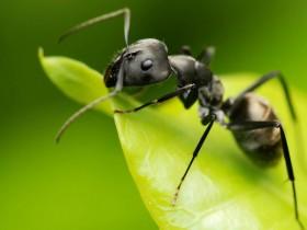 蚂蚁也有解毒药?