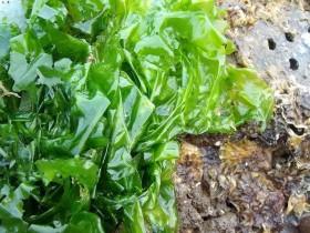 海滩上有哪些常见可食用藻类?