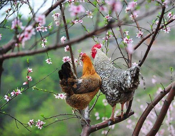 芦花鸡的奥秘