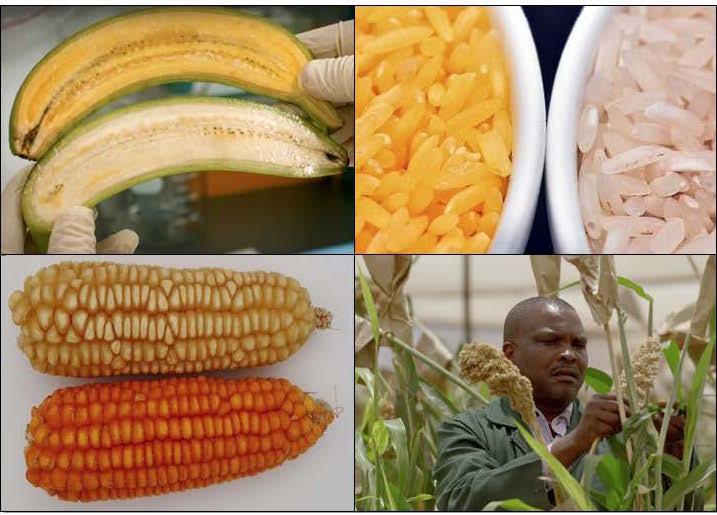 被不公平地妖魔化的转基因农作物,可以帮助对抗营养不良
